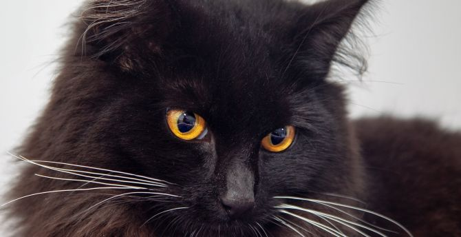 Desktop Wallpaper Black Cat Yellow Eyes Pet Confident Hd Image Picture Background 3dbce8