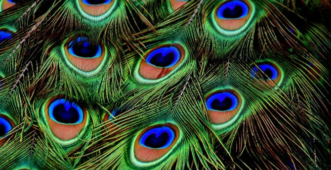 Peacock, feathers, colorful, plumage wallpaper