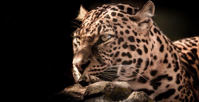 Leopard, wildlife, wild cat, portrait wallpaper