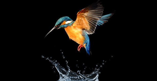 Blue tailed, hummingbird, water splash wallpaper