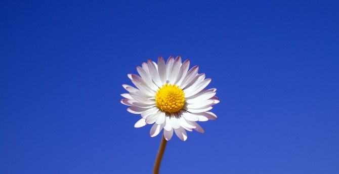 Gerbera, white flower, portrait wallpaper