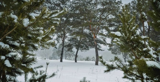 Pine trees, winter, forest, snow wallpaper