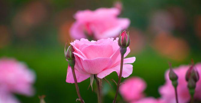 Rose Flowers Bloom Bud Pink Portrait Wallpaper