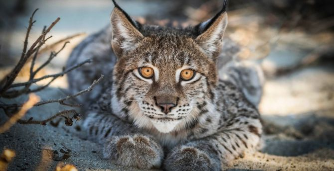 Close up, Lynx, cat, predator, muzzle wallpaper