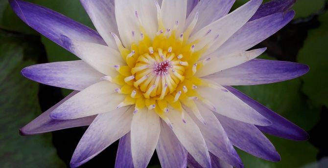 Water lily, bloom, purple white flower wallpaper