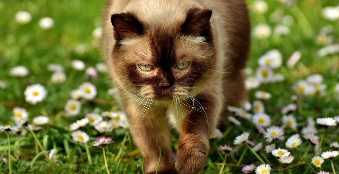 Big feline cat walk meadow