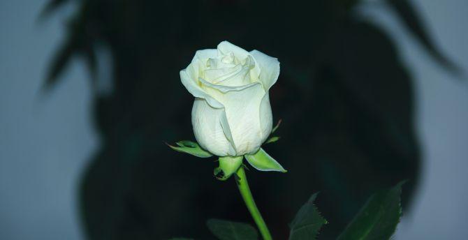 White rose, bud, flower, portrait wallpaper