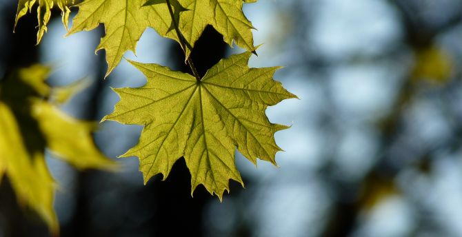 Maple, leaf, spring wallpaper