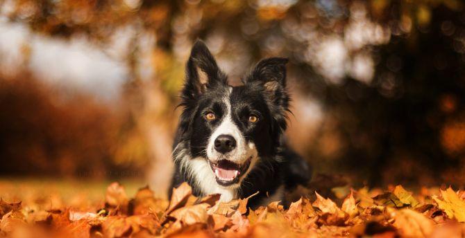 Border Collie, dog, muzzle, bokeh, outdoor wallpaper