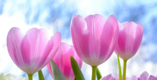 Fresh Pink Tulips Flowers Wallpaper