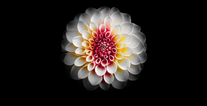 Desktop Wallpaper Portrait White Dahlia Flower Hd Image