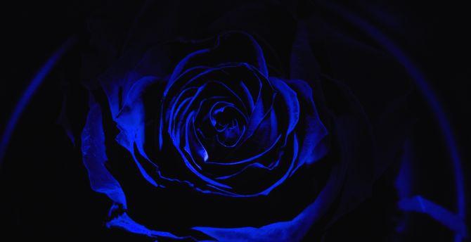 Desktop Wallpaper Blue Rose Dark Close Up Hd Image Picture