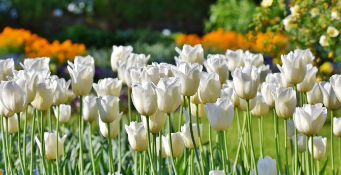 Tulips, flowers fields, white flowers, farm wallpaper
