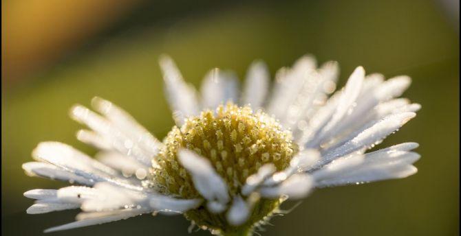 Portrait, daisy, flower, drops, close up wallpaper