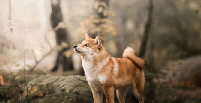 Shiba Inu, confident, dog, outdoor wallpaper