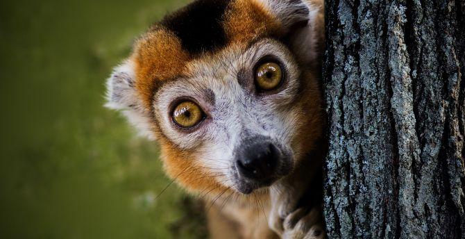 Amazing Lemur Wallpaper - ring-tailed-lemur-curious  Pictures_47374.jpg