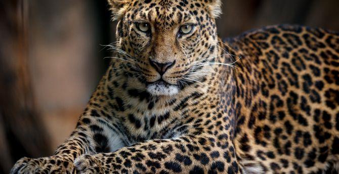 Confident, predator, leopard, animal wallpaper