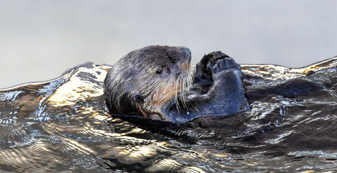 Desktop Wallpaper Sea Otter Aquatic Animal Swim Hd Image