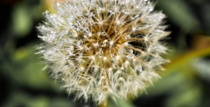 Dandelion flower portrait water drops