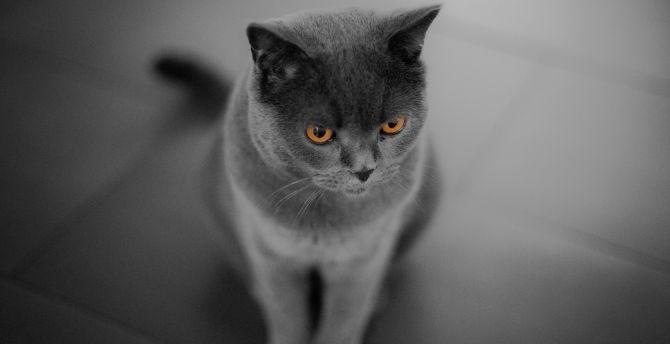 Curious, British Shorthair, cat, orange eyes wallpaper