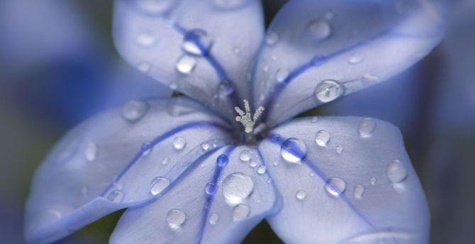 Desktop Wallpaper Blue Flower Water Drops Close Up Hd Image Picture Background 9b80b1