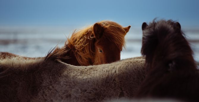 Horses, furs, animal, muzzle wallpaper