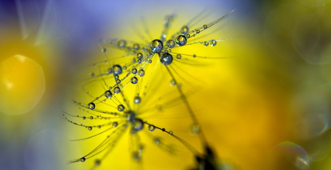 Dandelion, water drops, close up, blur wallpaper