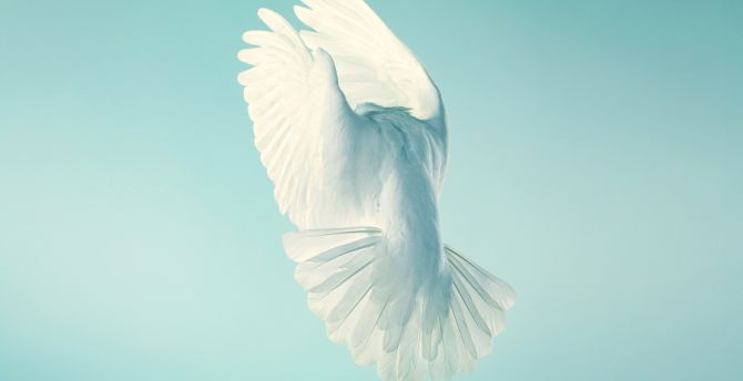 Pigeon white peace stock