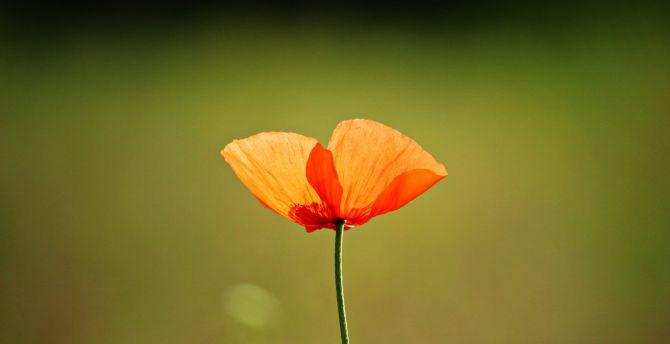 Single flower orange popppy