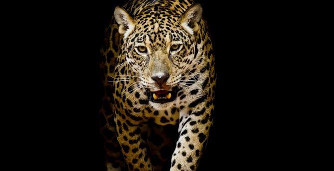 Leopard, predator, portrait wallpaper