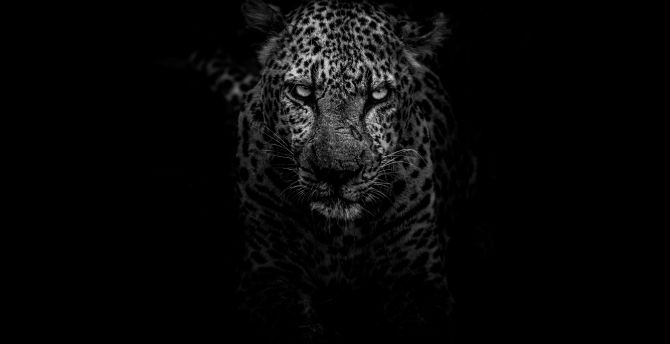 Leopard, angry, animal, monochrome, muzzle wallpaper
