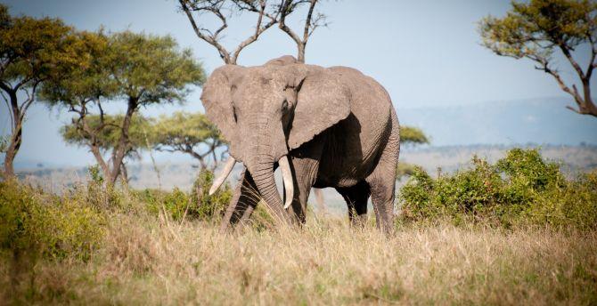 Wild animal, elephant, landscape wallpaper