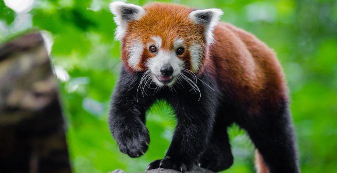 Cute red panda play 4k