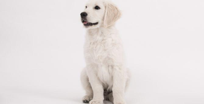 Desktop Wallpaper Puppy Cute Dog Golden Retriever Hd Image Picture Background D54a43