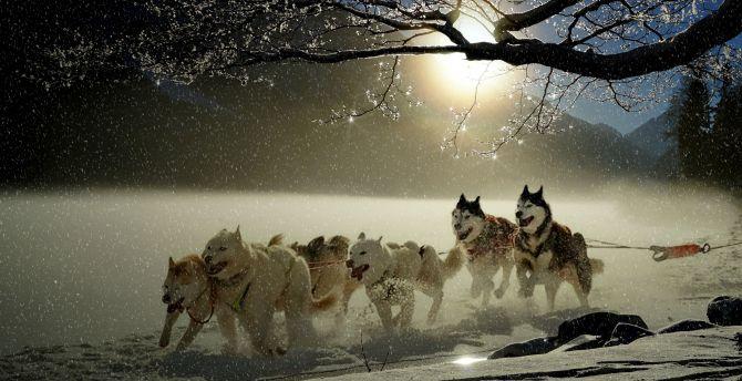 Dogs, run, winter, outdoor wallpaper