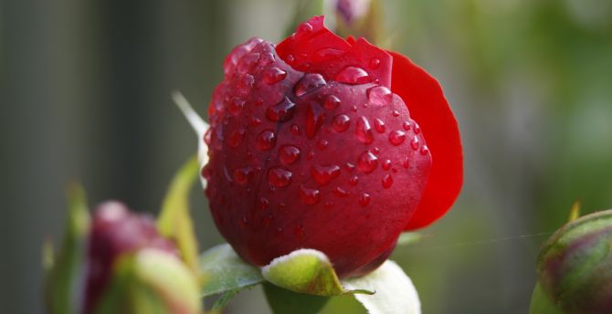 Red rose close up water drops