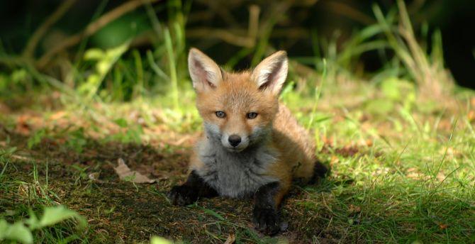 Desktop wallpaper cute, baby fox, animal, hd image ...