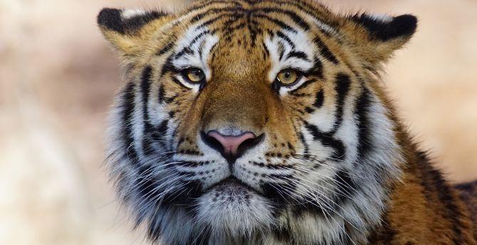 Muzzle, calm, tiger, predator wallpaper