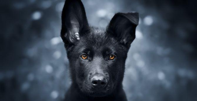 Desktop Wallpaper Pet Black Puppy German Shepherd Hd
