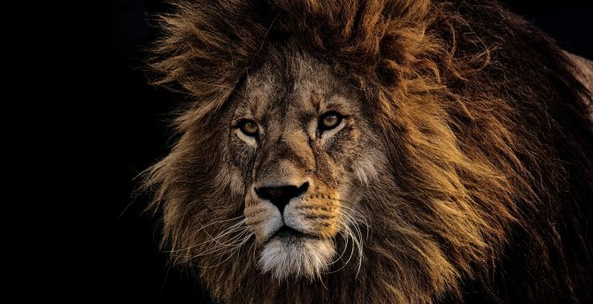Mighty king, Lion, fur, muzzle wallpaper