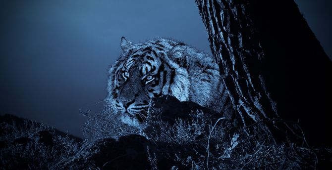 Tiger, outdoor, predator, night wallpaper