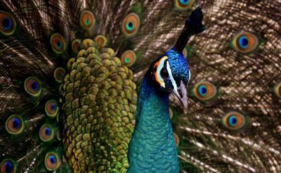 Peacock colorful bird dance plumage