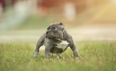 Dog outdoor pitbull 5k
