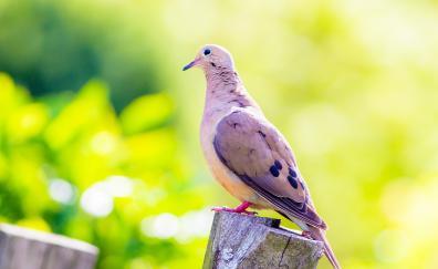 Dove bird portrait