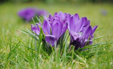 Purple crocus, flowers, grass, bloom