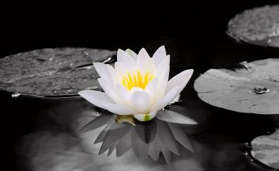 White, water lily, flowers, pond, portrait
