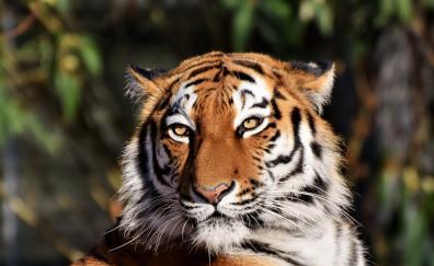 Tiger muzzle predator portrait