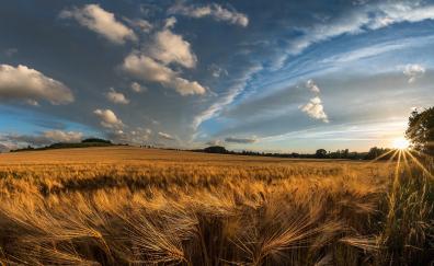 Golden crop, wheat farm, landscape, nature
