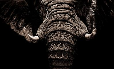 Elephant muzzle tusks
