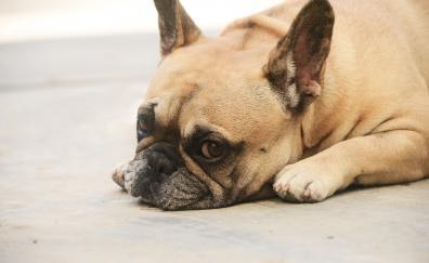 Calm relaxed cute bulldog muzzle